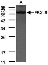 NBP1-31020 - FBXL6