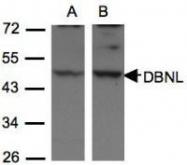 NBP1-31026 - Drebrin-like protein (DBNL)