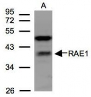 NBP1-31027 - RAE1