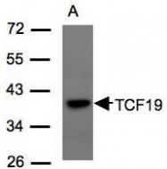 NBP1-31030 - TCF19