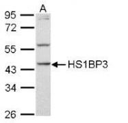 NBP1-31055 - HS1BP3