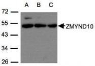 NBP1-31059 - ZMYND10