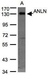 NBP1-31060 - Anillin / ANLN