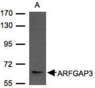NBP1-31064 - ARFGAP3