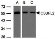 NBP1-31065 - OSBPL2