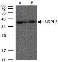 NBP1-31066 - MRPL3