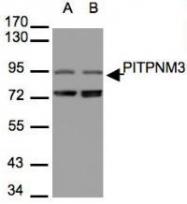 NBP1-31070 - PITPNM3