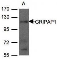 NBP1-31077 - GRIP1-associated protein 1