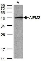 NBP1-31079 - AIF2 / AIFM2