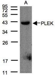 NBP1-31099 - Pleckstrin / PLEK