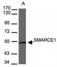 NBP1-31100 - SMARCE1 / BAF57