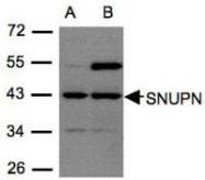 NBP1-31101 - Snurportin-1 (SNUPN)