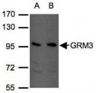 NBP1-31109 - mGluR3 / GRM3