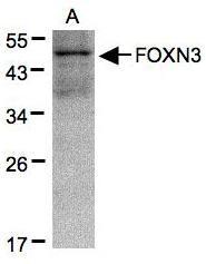NBP1-31128 - FOXN3 / CHES1