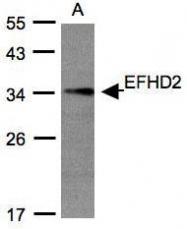 NBP1-31134 - EFHD2