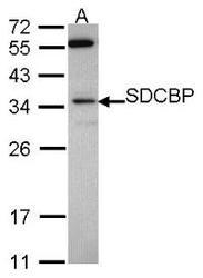 NBP1-31136 - Syntenin-1 / SDCBP