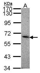 NBP1-31141 - CD329 / SIGLEC8