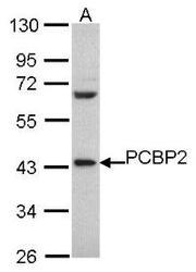 NBP1-31154 - PCBP2 / hnRNP-E2
