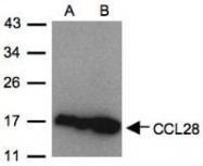 NBP1-31157 - MEC / CCL28