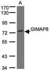 NBP1-31166 - GIMAP8