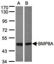 NBP1-31168 - BMP8A