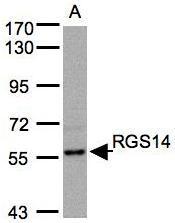 NBP1-31174 - RGS14