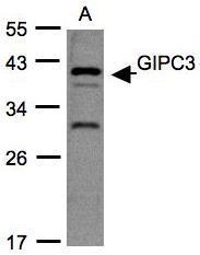 NBP1-31178 - GIPC3