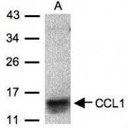 NBP1-31182 - CCL1 / I-309