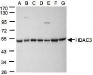 NBP1-31196 - HDAC3