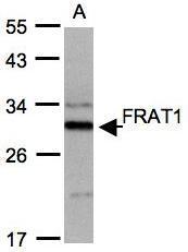NBP1-31213 - FRAT1
