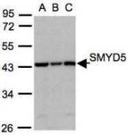 NBP1-31222 - SMYD5