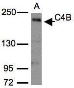 NBP1-31229 - Complement C4B