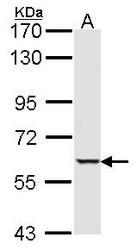 NBP1-31233 - STK4
