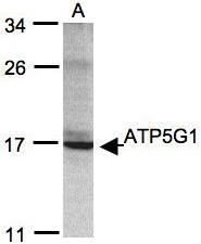 NBP1-31242 - ATP synthase proteolipid P1