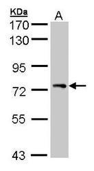 NBP1-31243 - STAM1