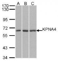 NBP1-31260 - KPNA4 / Importin alpha-4