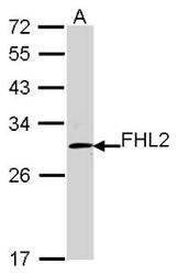 NBP1-31262 - FHL2 / SLIM3