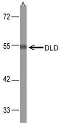 NBP1-31302 - Dihydrolipoyl dehydrogenase