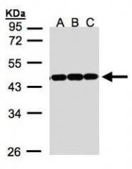 NBP1-31310 - Annexin A2 / ANXA2