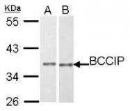 NBP1-31319 - BCCIP / TOK1