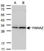 NBP1-31325 - 14-3-3 protein zeta/delta