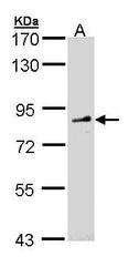 NBP1-31335 - FGD4