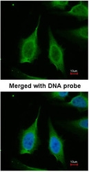 NBP1-31348 - Pyrophosphatase 1 / PPA1