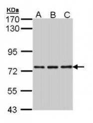 NBP1-31363 - NPAS2