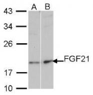 NBP1-31368 - FGF21