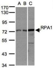NBP1-31382 - RPA1