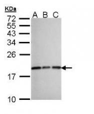 NBP1-31398 - CXCL14 / BRAK