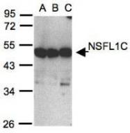 NBP1-31402 - NSFL1C