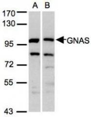 NBP1-31405 - Protein ALEX