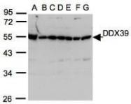 NBP1-31407 - DDX39